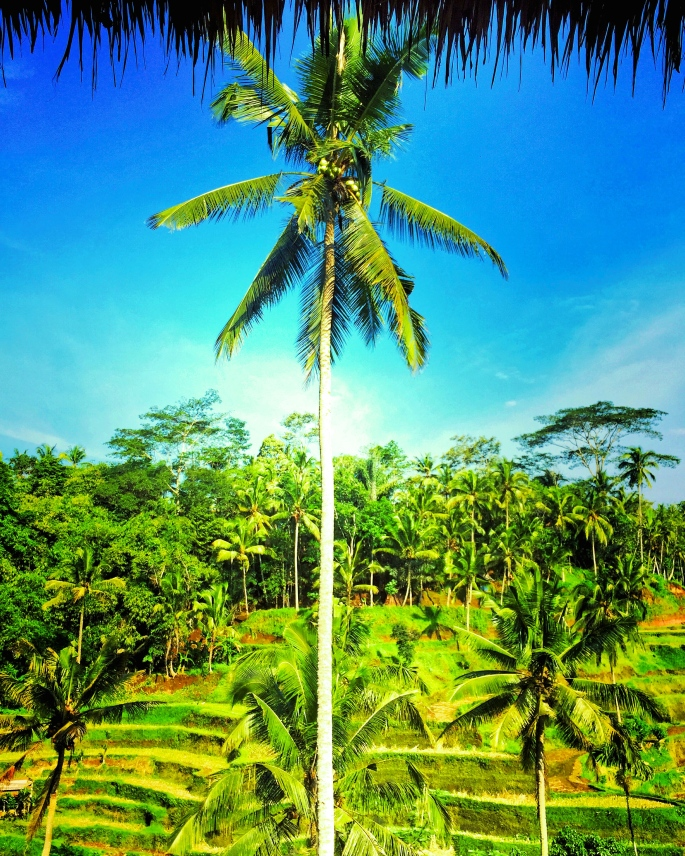 Ubud Tagalalang Pirinç Tarlaları