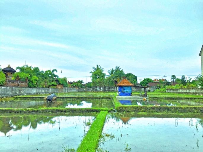 Canggu pirinç tarlaları